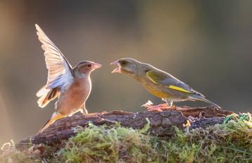 2019RFNHM_PDI_052 - Chaffinch with Greenfinch by Hugh Wilkinson.