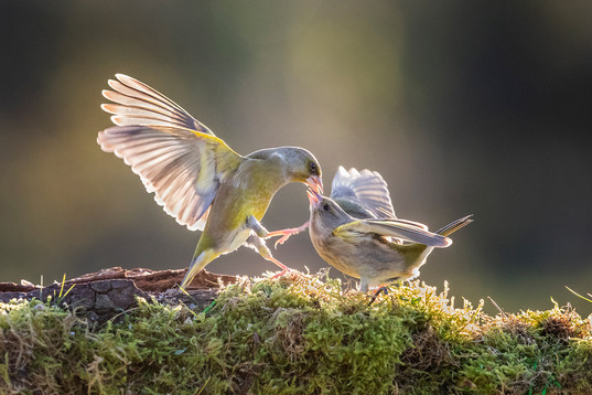 2019RFNHM_PRINT_106 - Quarrelling Greenfinches by Hugh Wilkinson.  Highly Commended