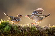 2019RFNHM_PRINT_031 - Chaffinches by Hugh Wilkinson.  Commended