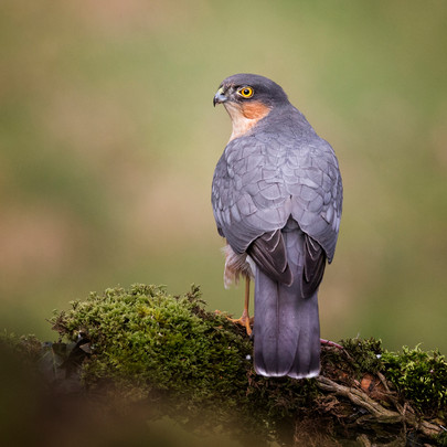 2019RFNHM_PDI_049 - Sparrowhawk by Hugh Wilkinson. Highly Commended