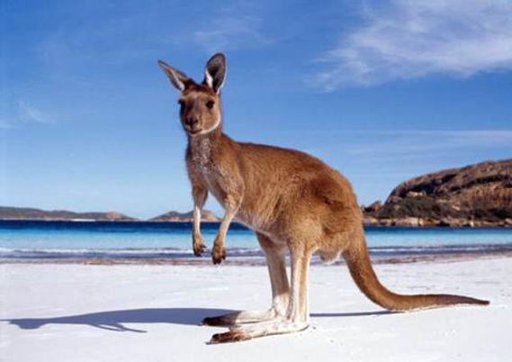 canguro, informacion general, australia, ace australia