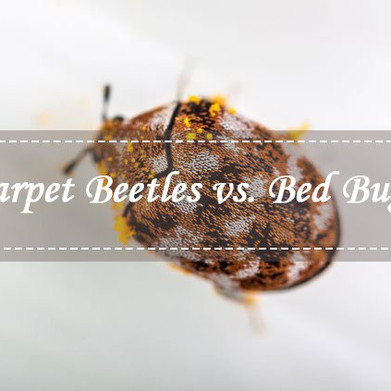 Bed Bugs vs Carpet Beetle