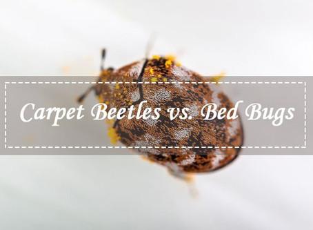 Bed Bugs vs Carpet Beetle