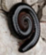millipedes_edited.jpg