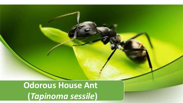 tapinoma-sessile-odorous-house-ant-1-638
