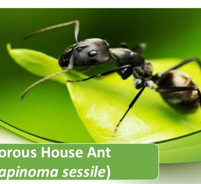Are there pesky odorous house ants in your kitchen?