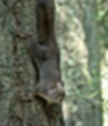 grey squirrel.jfif