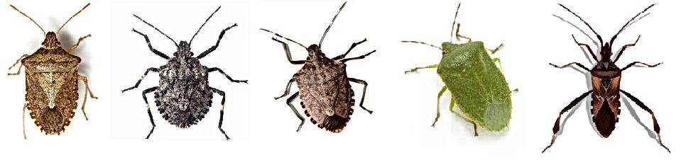 Okanagan Stink Bugs