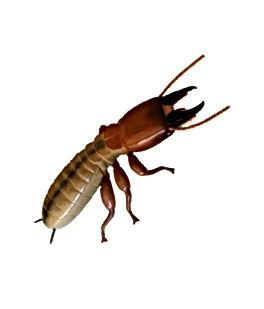 Termite jpg.jpg