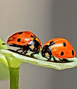 Native Lady Bug.jpg