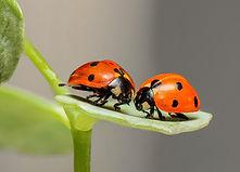 Native Lady Bug.jpg