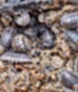 pillbugs.jpg