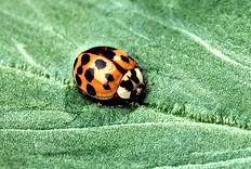 Asian Lady Beetle.jpg