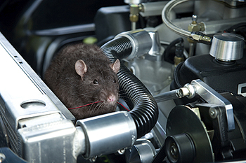 Rodents in vehicle