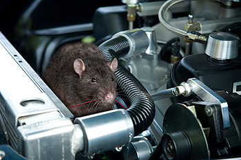 Meals on Wheels - How to prevent rodent damage to your vehicle