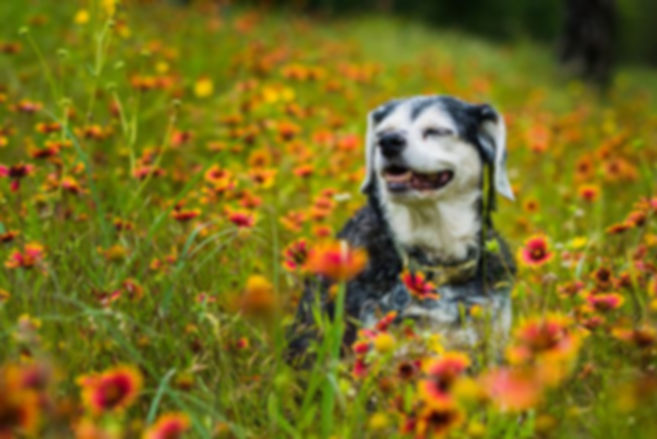 senior-dog-flowers.jpg.653x0_q80_crop-sm