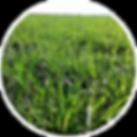 Oxen Nutrição de Plantas