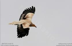 Vautour_percnoptère_–_Neophron_percnopterus_-Egyptian_Vulture