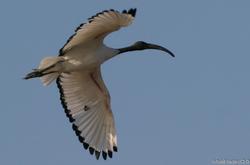 Ibis_sacré_-_Threskiornis_aethiopicus_African_Sacred_Ibis