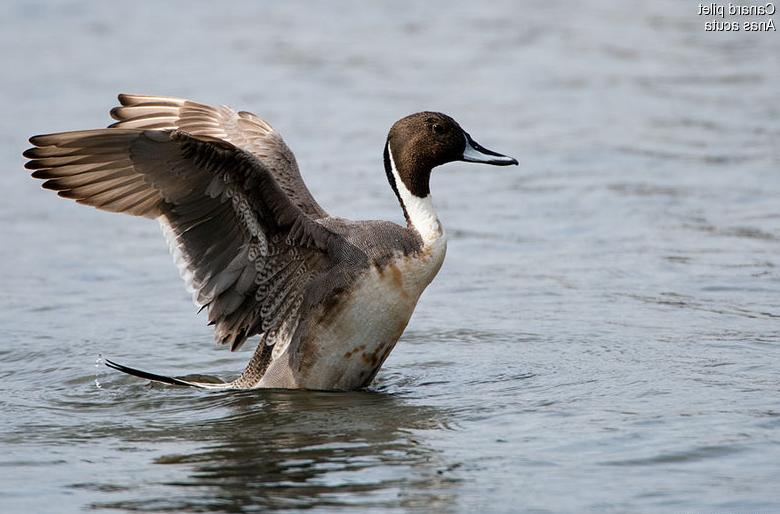 Canard pilet - Anas acuta - Northern