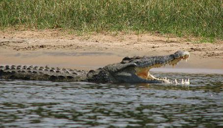 Crocodile du Nil en milieu naturel