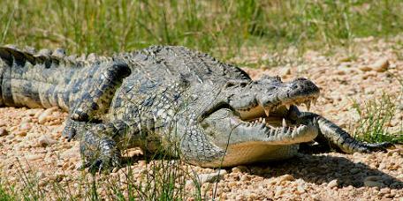 Crocodile du Nil (Crocodylus niloticus)