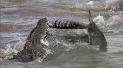 Crocodile du Nil mangeant une Perche du Nil