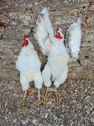 White Prop Chickens