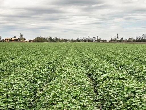 Growing Australian Sweet Potato with Zero Damage