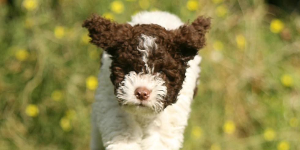 Online lezing puppysocialisatie
