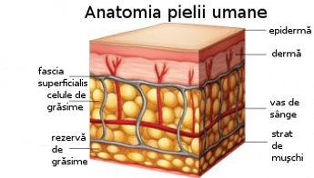 anatomia pielii umane