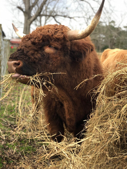 """Scottish Highland Bull """"Jax"""""""