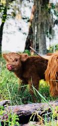 "Baby Highland ""Fiona"""