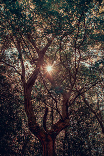 Sunflare through a tree canopy