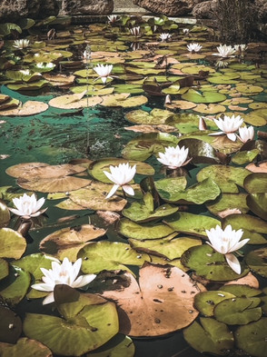 Water lillies in a pond