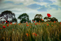 Poppies in a wheat field with trees on the horizon