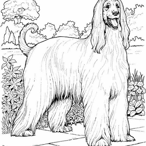 Afghan Hound Free Coloring Page