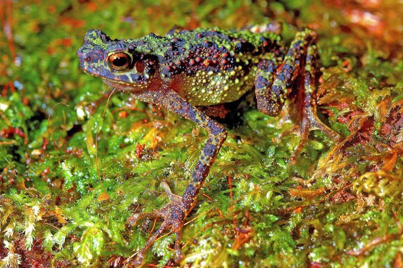 anfibio borneo ansonia latidisca inspiracion colores nuevo reloj Frogman