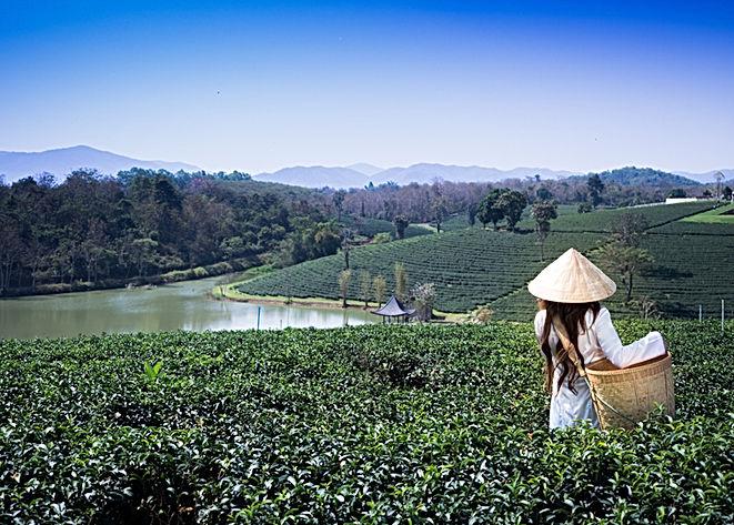 Farmer woman in the tea farm.Women weari