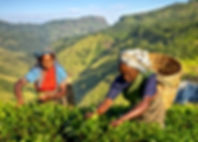 Female Tea Pickers in Plantage, Sri Lank