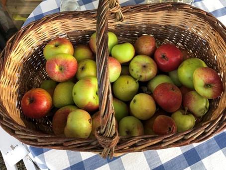 Herbstzeit: Apfelernte wird zur Goldschatzsuche!
