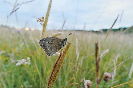 Meadow brown butterfly.jpg
