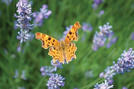 Comma butterfly on lavender.jpg