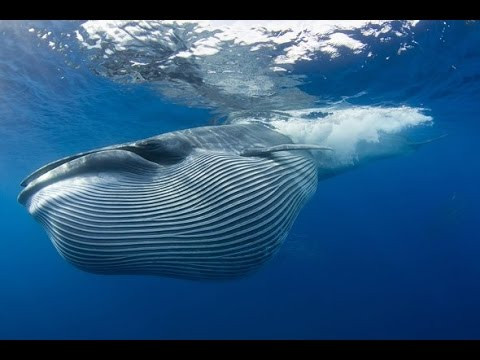 The Breyde's Whale
