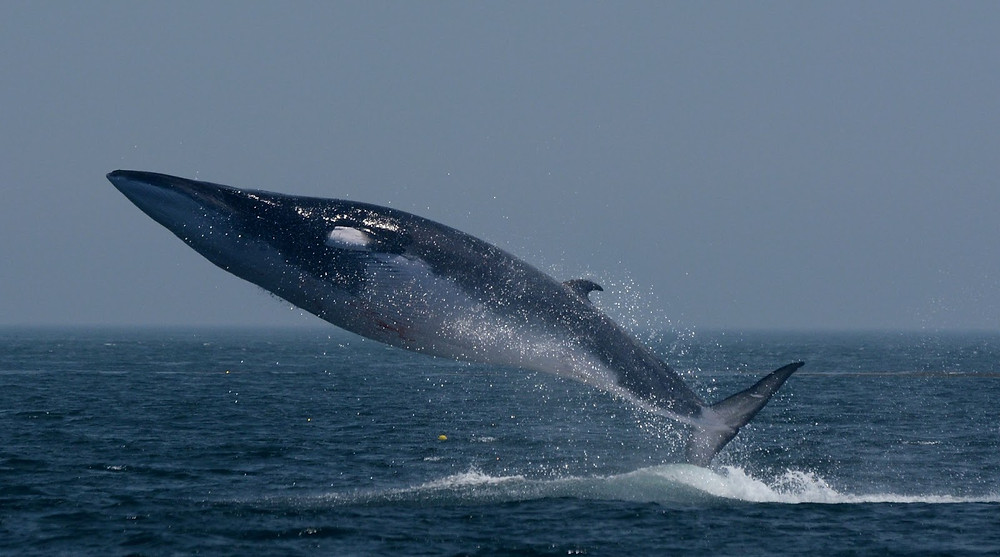 The Fin Whale
