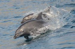 Dolphin Blueocean