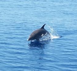 Dolphin Blue Ocean