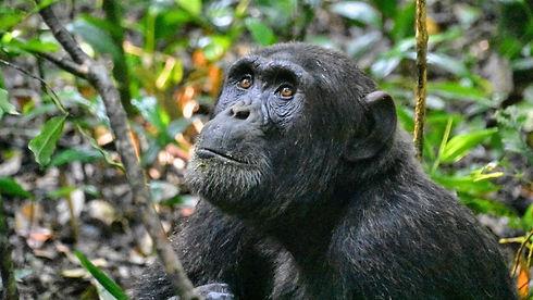 Uganda - Chimpanzee Gaze.jpg