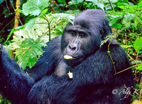 Gorilla Facts you need to know