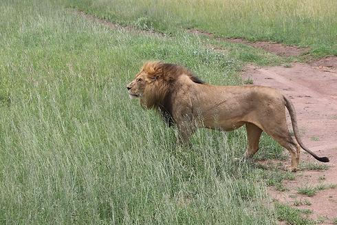 Male Lion (1).jpg